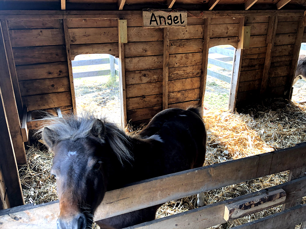 Angel the miniature horse inside her pen at the petting barn